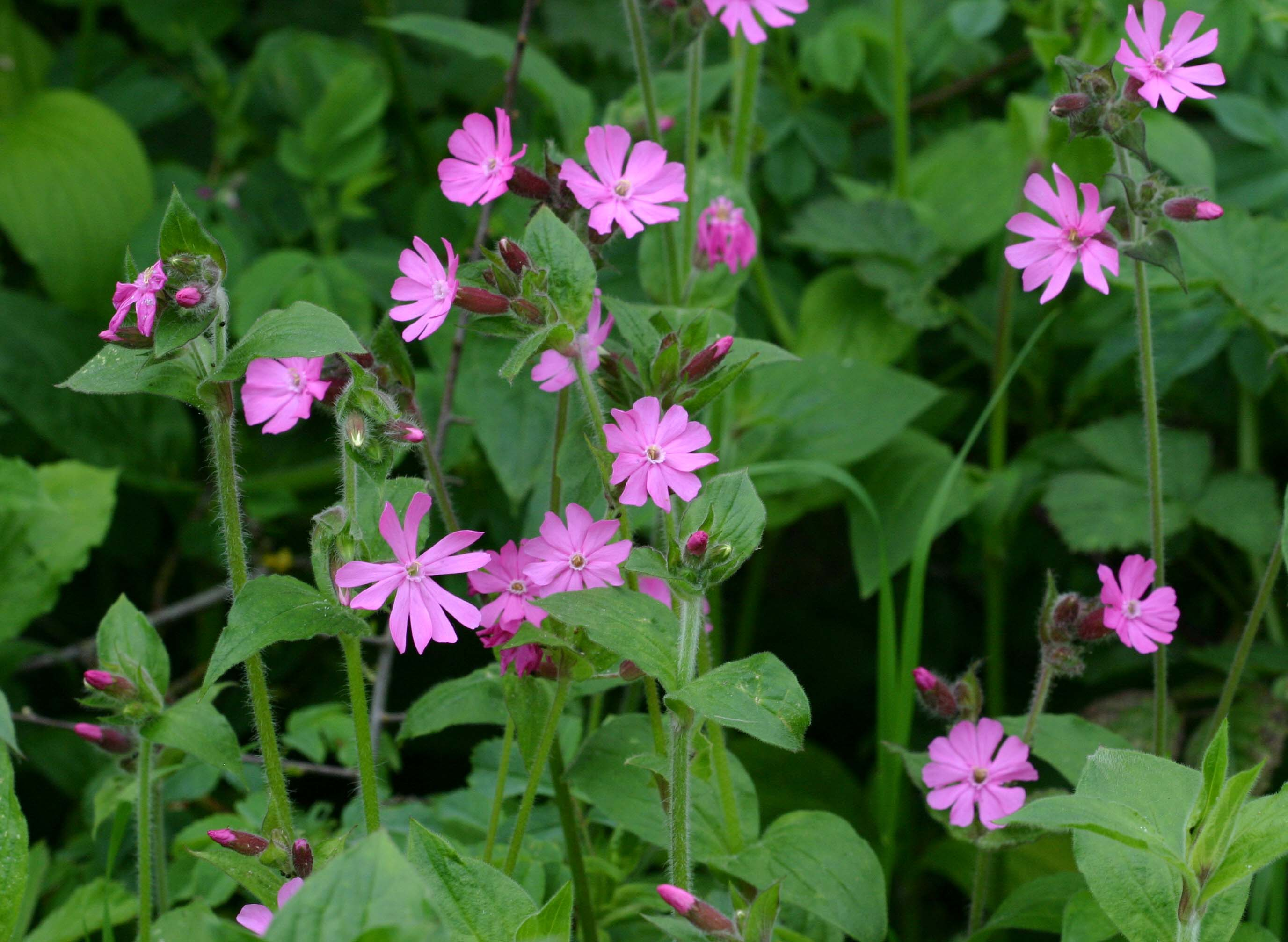 Red Campion Naturespot