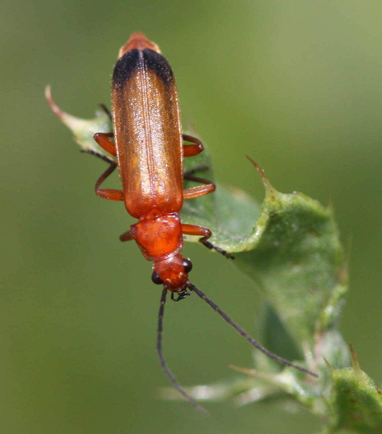 common red soldier beetle naturespot