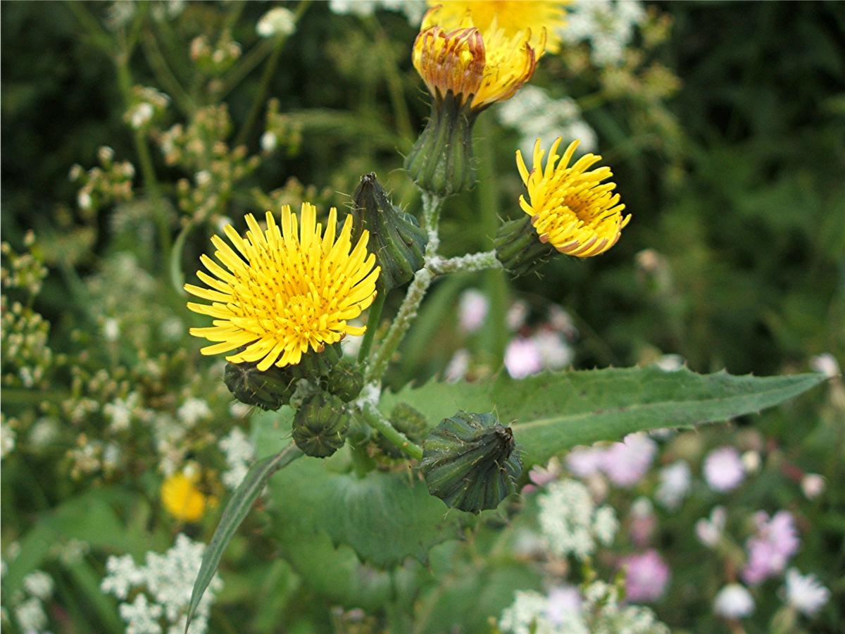 map of lax jpg with Smooth Sow Thistle on 9381120076 further Guide Los Angeles Zoo Botanical Gardens in addition Gateway image Hyatt Place Los Angeles LAX El Segundo P033 Bar 1280x720 moreover Gallery together with 6187997000.