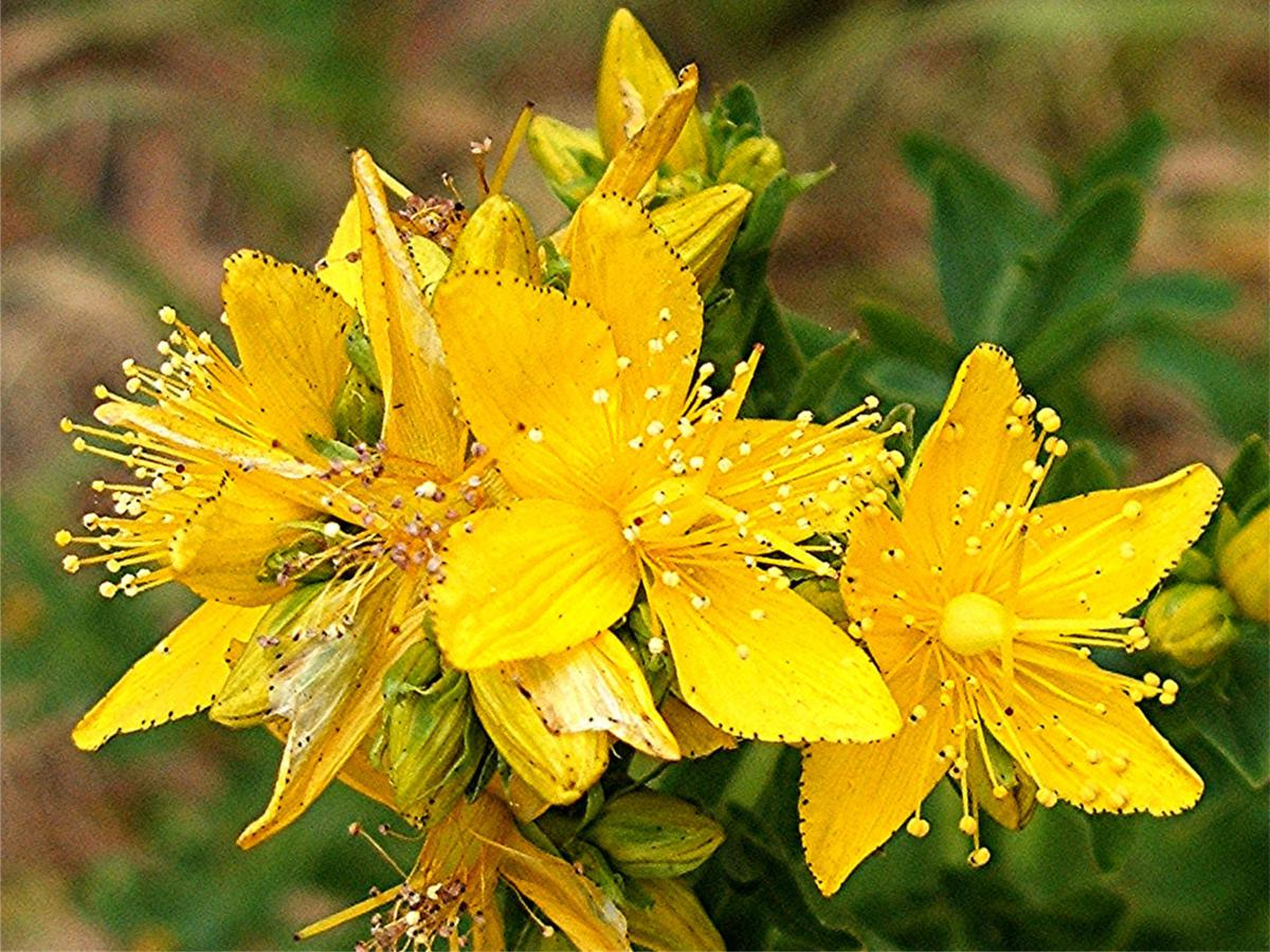 st johns wort The st john's wort plant is one of the oldest herbal remedies for nerve related disorders and can be found growing wild in many climates all over the world.