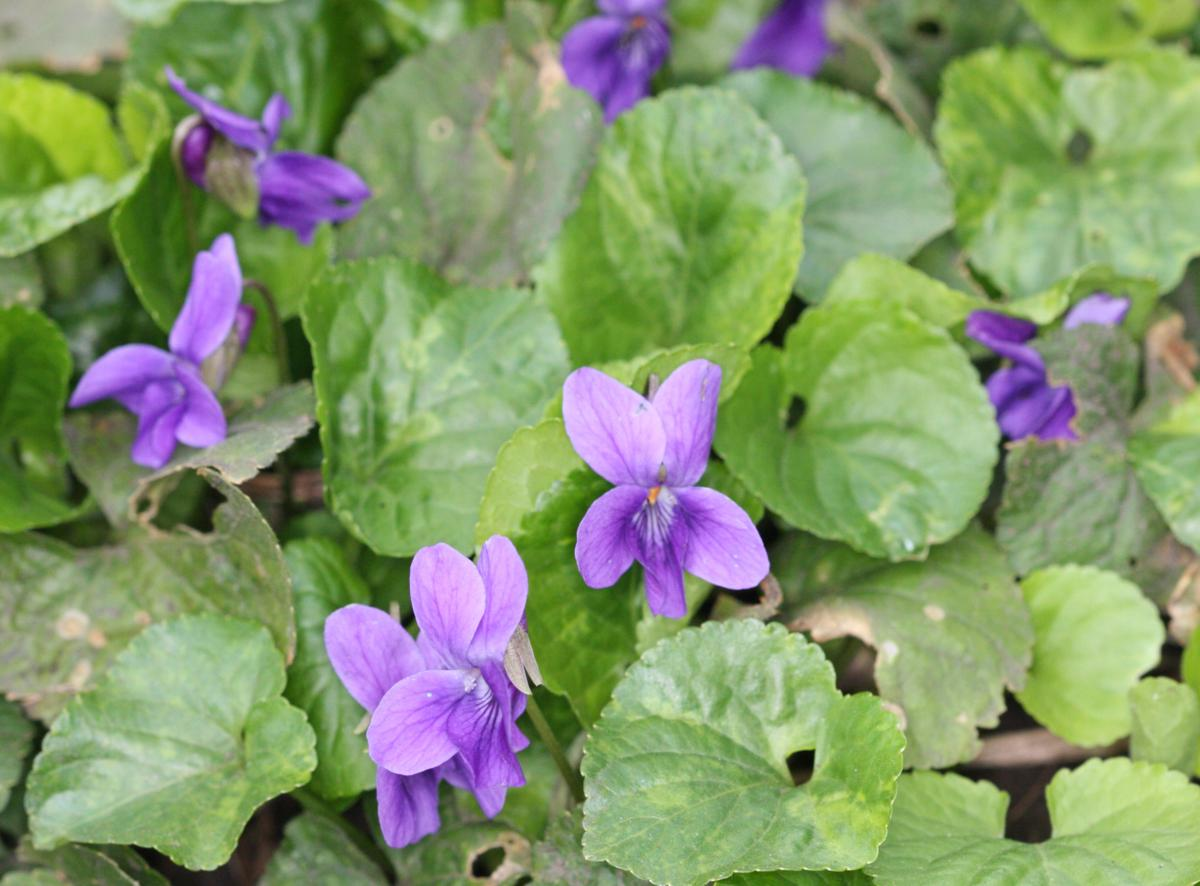 Sweet Violet | NatureSpot