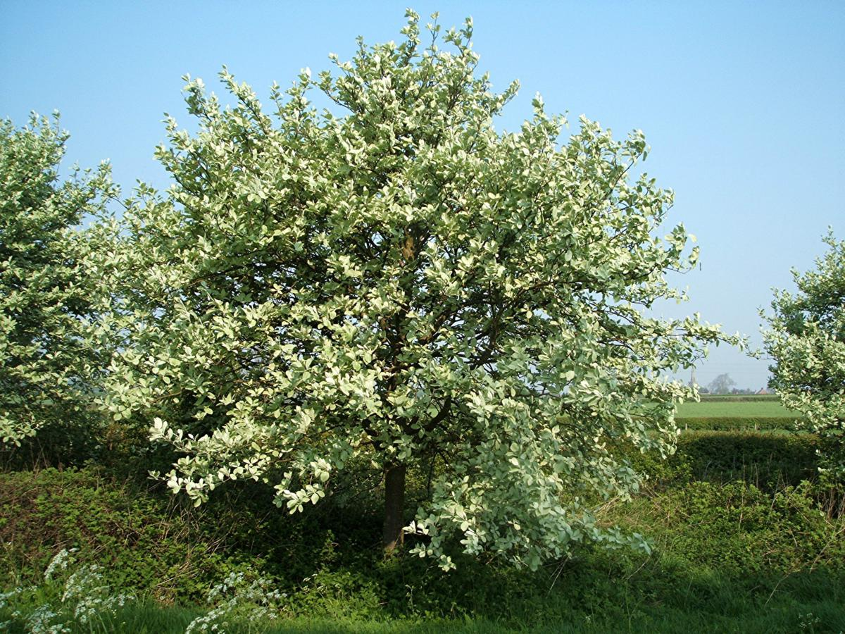 Common Whitebeam agg. | NatureSpot