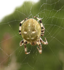 Four-spotted Orb Weaver