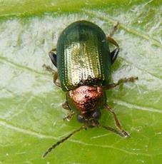 Willow Flea Beetle