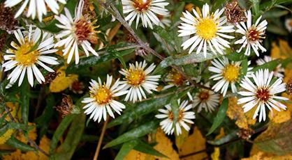 Narrow-leaved Michaelmas-daisy