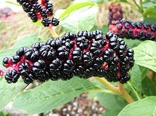 Indian Pokeweed