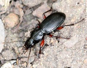 Black Clock Beetle