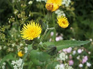 Smooth Sow-thistle