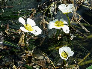 River Water-crowfoot