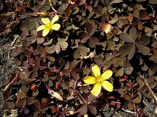 Procumbent Yellow-sorrel