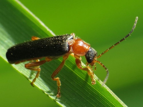 Cantharis thoracica