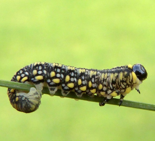 Imported Pine Sawfly