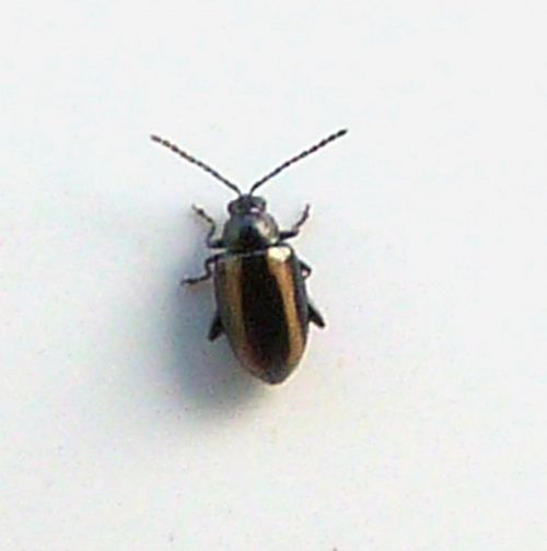 Small Striped Flea Beetle