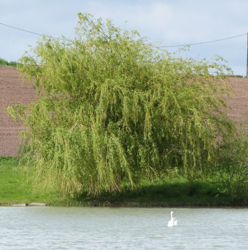 Weeping Willow agg.