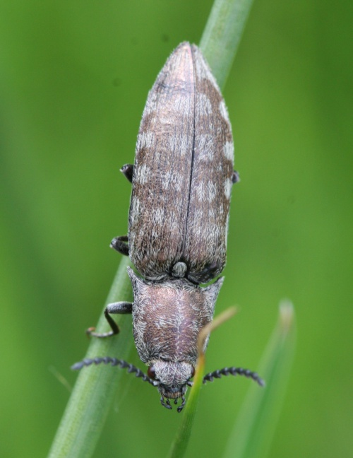 Marsh Click Beetle