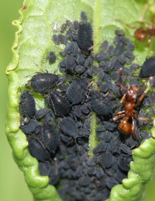 Dock Aphid