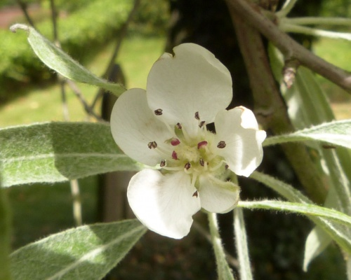 Willow-leaved Pear