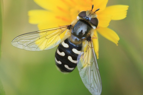 Pied Hoverfly