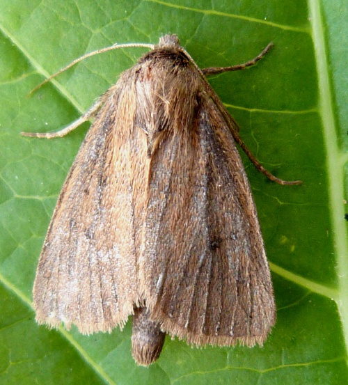 Twin-spotted Wainscot
