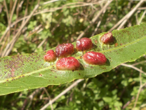 Willow Redgall Sawfly