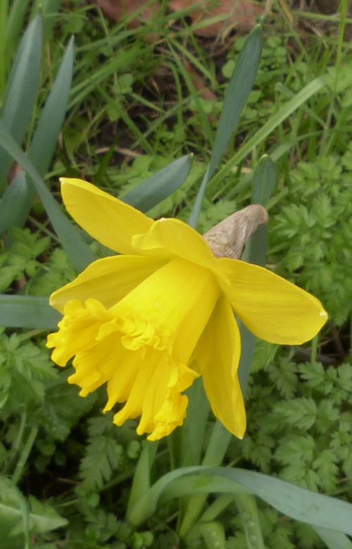 Cultivated Daffodil agg.