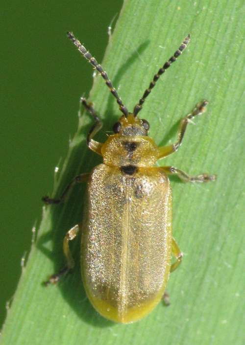 Brown Willow Beetle