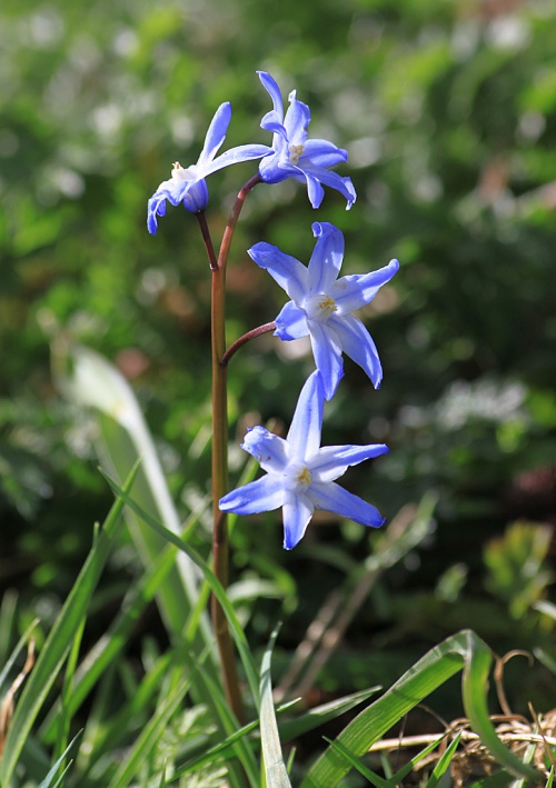Spring Squill agg.