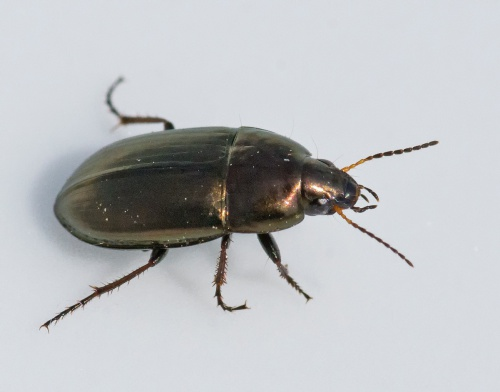 Common Sun Beetle