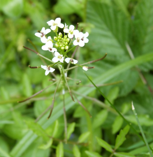 Narrow-fruited Water-cress