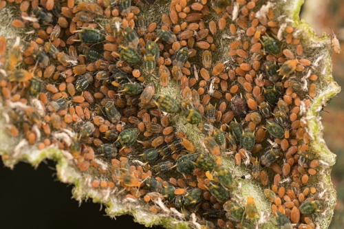 Small Willow Aphid
