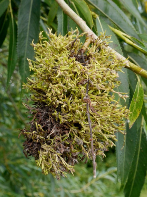 Mossy Willow Catkin Gall
