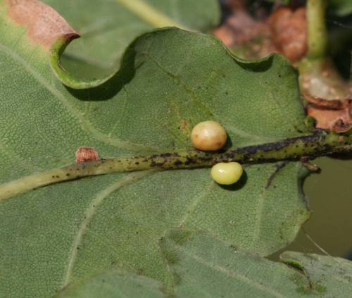 Red Pea Gall Wasp