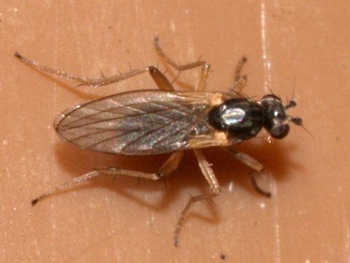 Yellow Spear-winged Fly