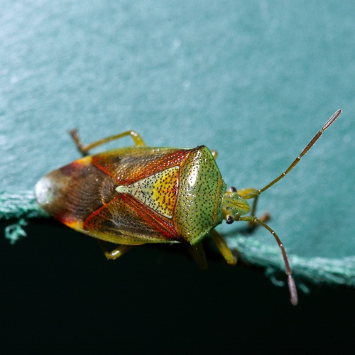 Birch Shieldbug Elasmostethus interstinctus