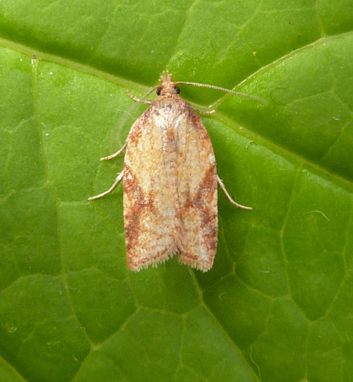 Acleris aspersana