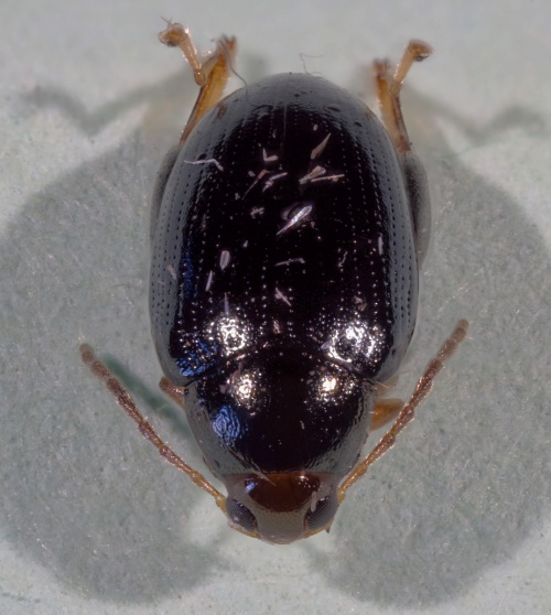 Cabbage-stem Flea Beetle