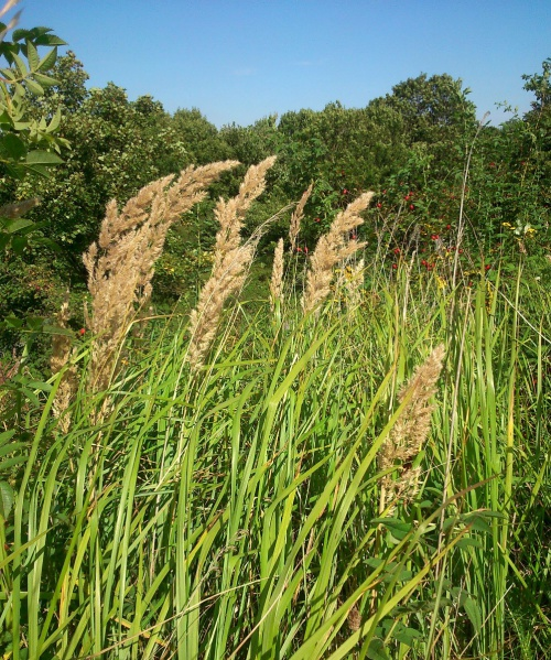 Wood Small-reed
