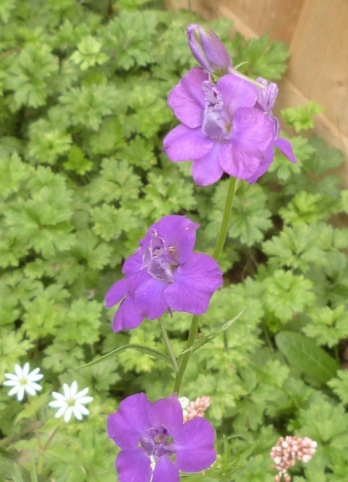 Eastern Larkspur