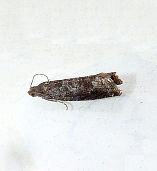 Plum Fruit Moth