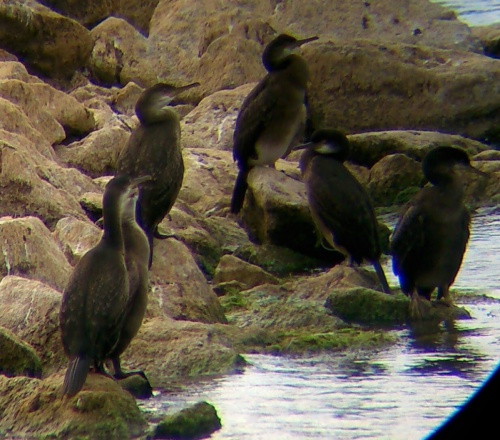 Shag Phalacrocorax aristotelis