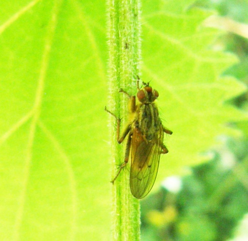 Yellow Dung Fly Scathophaga stercoraria