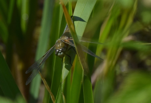Four-spotted Chaser Libellula quadrimaculata