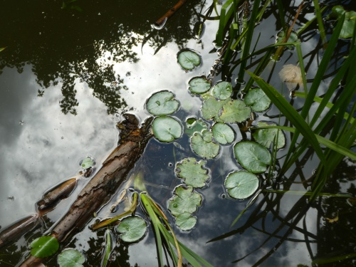 Fringed Water-lily Nymphoides peltata