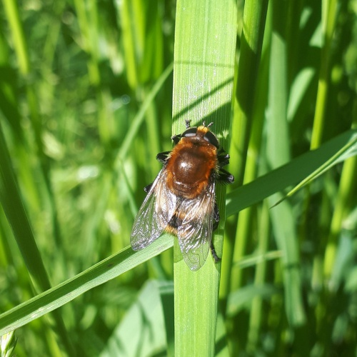 Narcissus Bulb Fly Merodon equestris