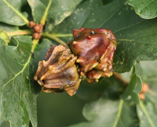 Knopper Oak Gall Wasp Andricus quercuscalicis