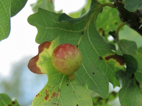 Cherry Gall Wasp Cynips quercusfolii