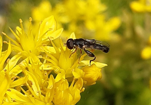 Thick-legged Hoverfly Syritta pipiens