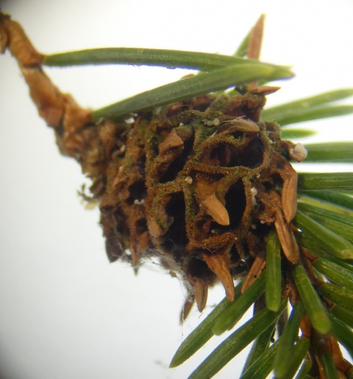 Pineapple Gall Adelgid Adelges abietis