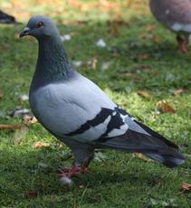 Feral Pigeon (Rock Dove)