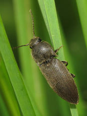 Wireworm Click Beetle